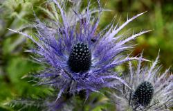 images/Fotos/Natur/Alpenflora/thumbs//Distel.jpg