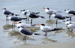 images/Fotos/Natur/Tierwelten/thumbs//Royal_Tern_Cape-Canaveral_4788.jpg