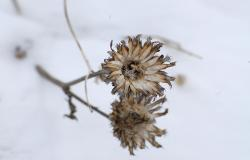 images/Fotos/Natur/Winter/thumbs//Trockenblume-_DSC0061.jpg