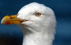 images/Fotos/Reisen/Norwegen/thumbs//farbspektrum-Seagull-voegel.jpg